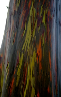 Rainbow Eucalyptus: Most Colourful Trees on Earth