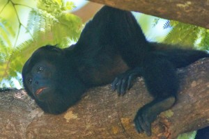 Howler Monkey relaxing in Tamarindo.